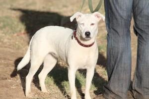 AKC Canine Good Citizen Certificate