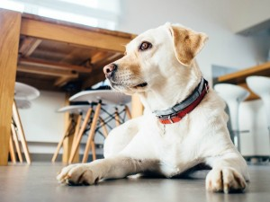 Stay Obedience Training for Therapy Dogs
